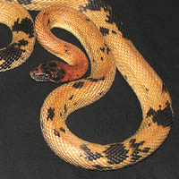 Jeweled Rat Snake