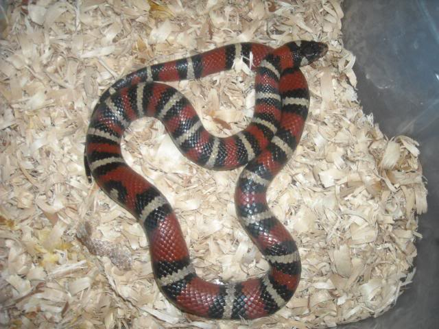 Plateau Mountain Kingsnake, Lampropeltis ruthveni