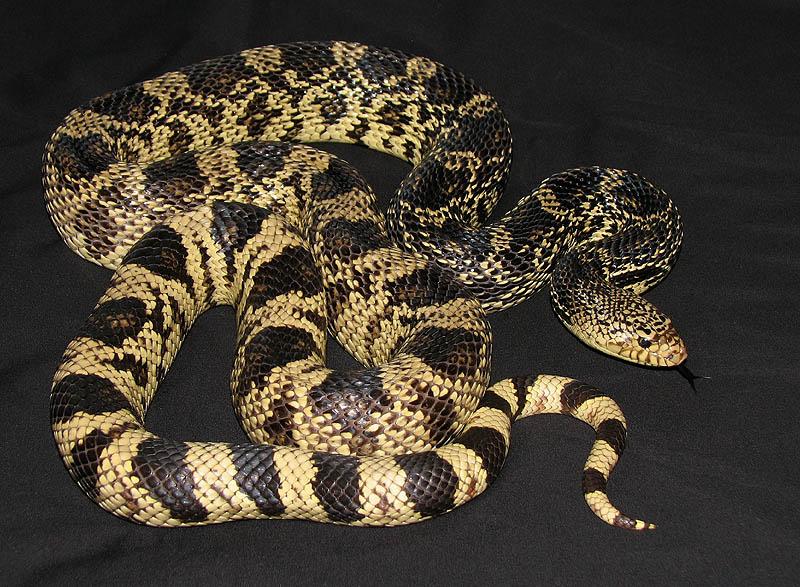Louisiana Pine Snake, Pituophis ruthveni
