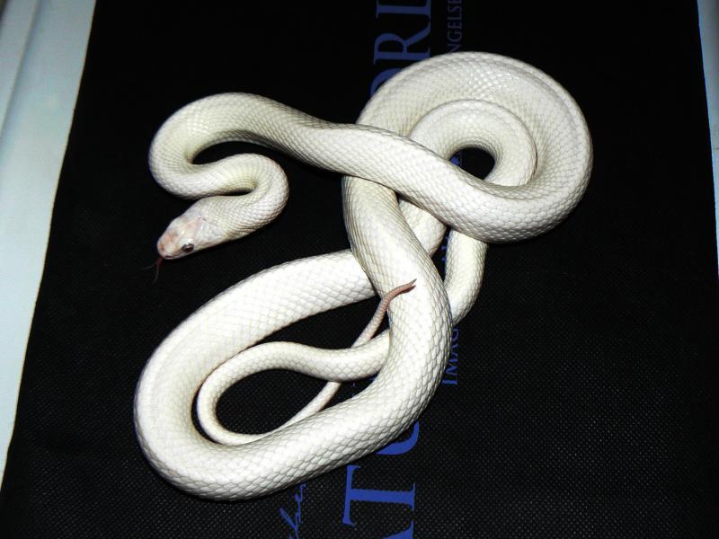 Black Rat Snake, Pantherophis o. obsoletus