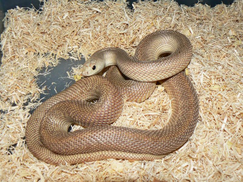 Florida Pine Snake, Pituophis melanoleucus mugitus