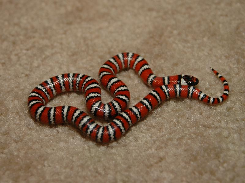 San Pedro Mountain Kingsnake, Lampropeltis zonata algama