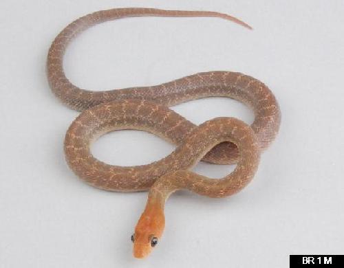Baja California Rat Snake, Bogertophis rosaliae