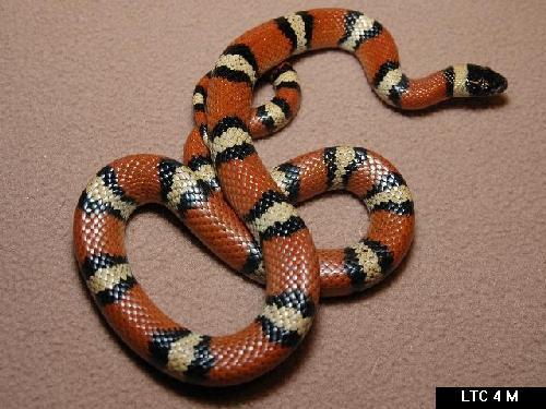 New Mexico Milk Snake, Lampropeltis triangulum celaenops