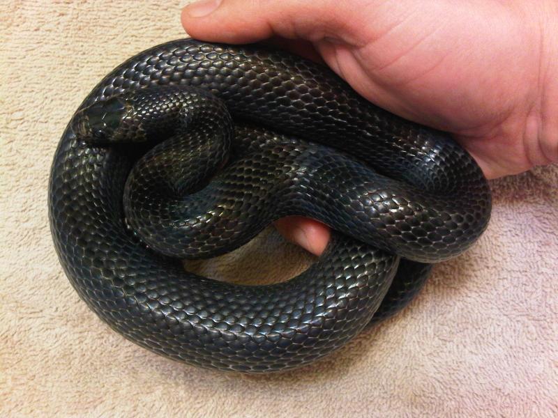 Black Milk Snake, Lampropeltis triangulum gaigiae