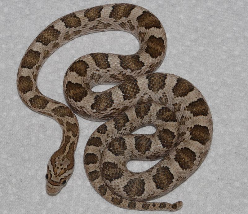 Thornscrub Ratsnake, Pantherophis guttatus meahllmorum