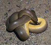 Northern Rubber Boa, Charina bottae