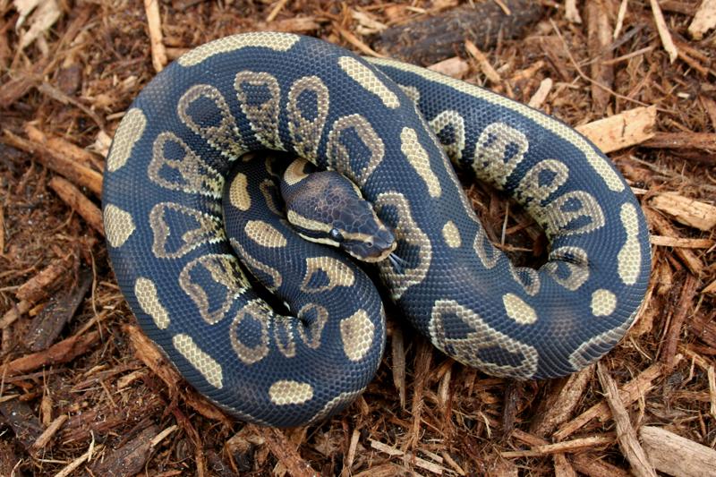 Ball Python, Python regius