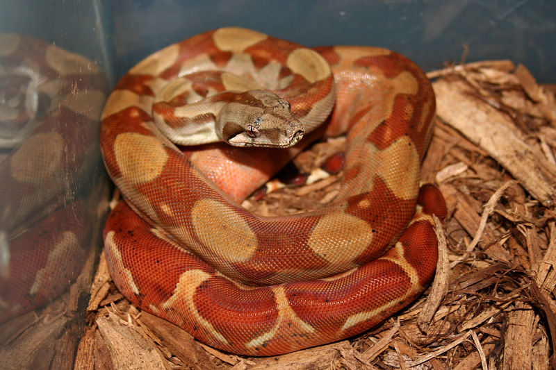 Common Northern Boa, Boa constrictor imperator