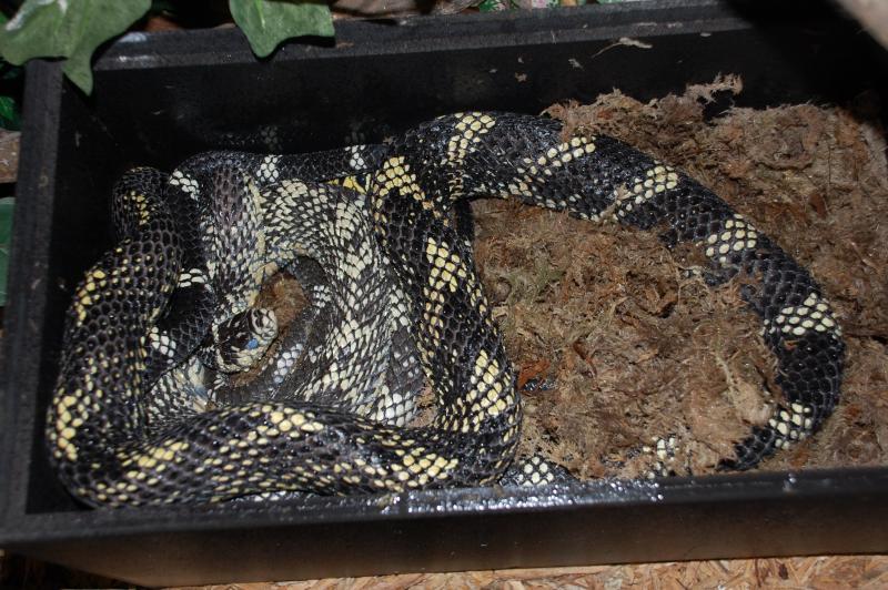 Tiger Rat Snake, Spilotes pullatus