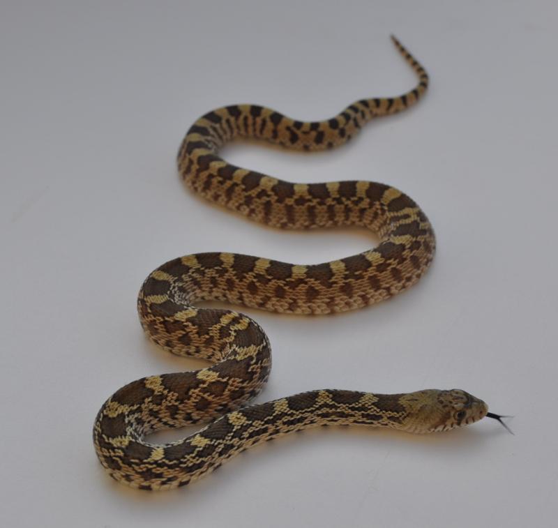 Bullsnake, Pituophis catenifer sayi